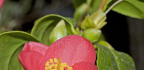 Nejlepší kamélie do zimní zahrady