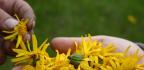 Arnika (Arnica montana) – výjimečná léčivá bylina na tupá poranění, klouby, otoky nebo revmatizmus