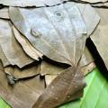 Bobkový list jako lék