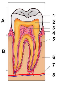 Zub anatomicky